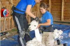 alpaca-shearing-day
